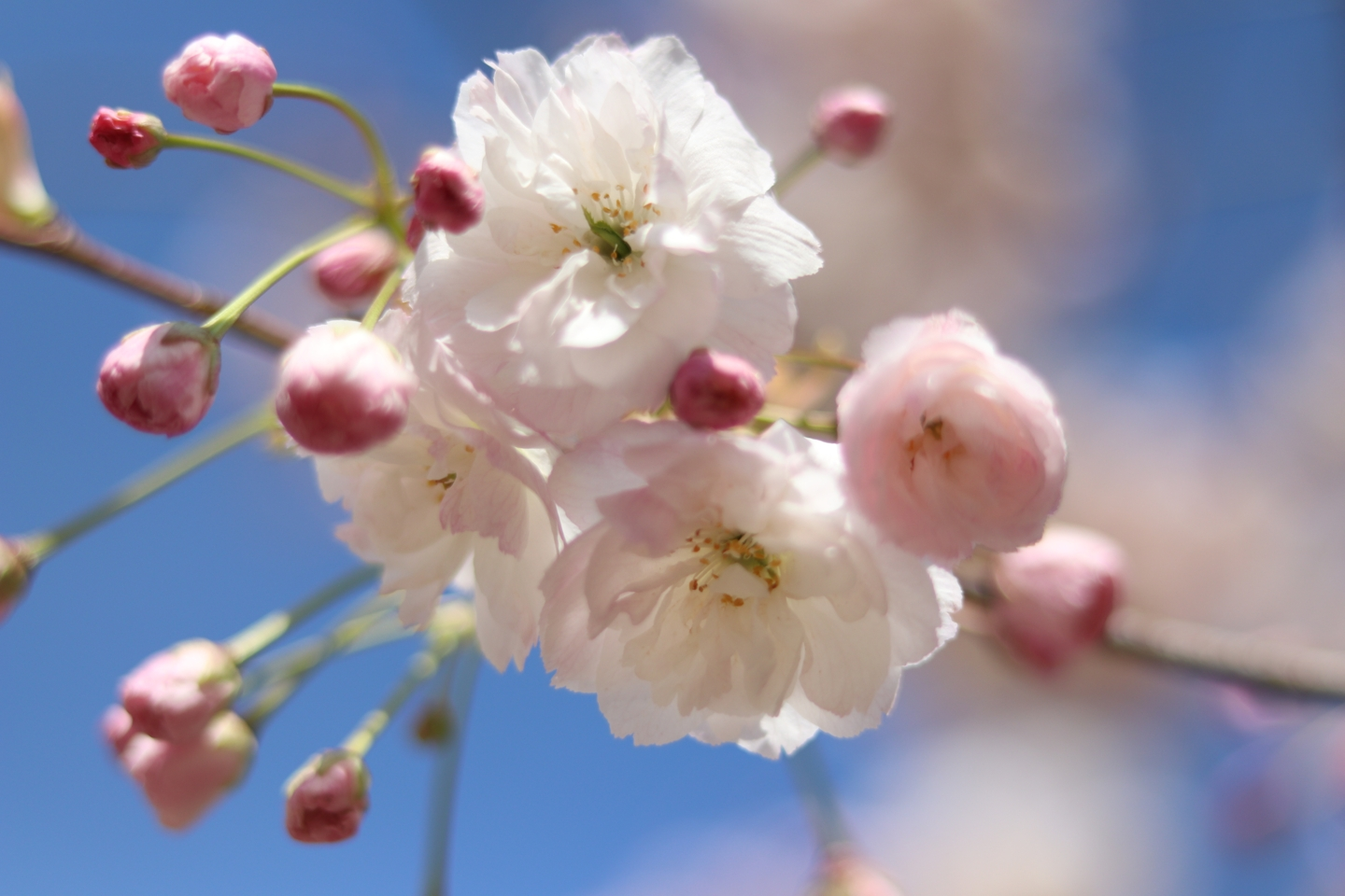Close up of pink and white blossoms
